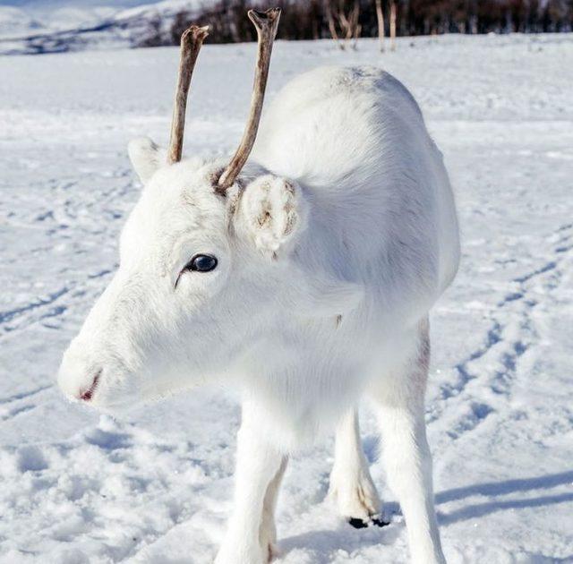 Norveçte bir fotoğrafçı, nadir görülen beyaz Ren geyiklerini görüntüledi: Masal gibi bir andı 67