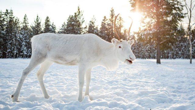 Norveçte bir fotoğrafçı, nadir görülen beyaz Ren geyiklerini görüntüledi: Masal gibi bir andı 48