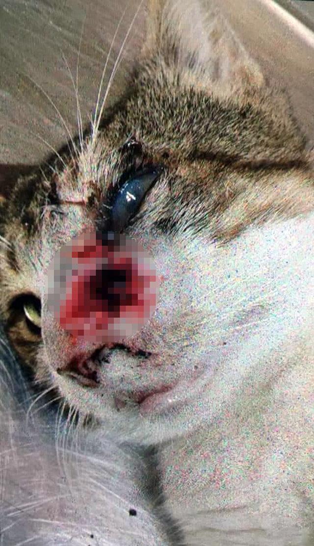 Başından 9 saçma çıkarılan kedi hayata tutundu