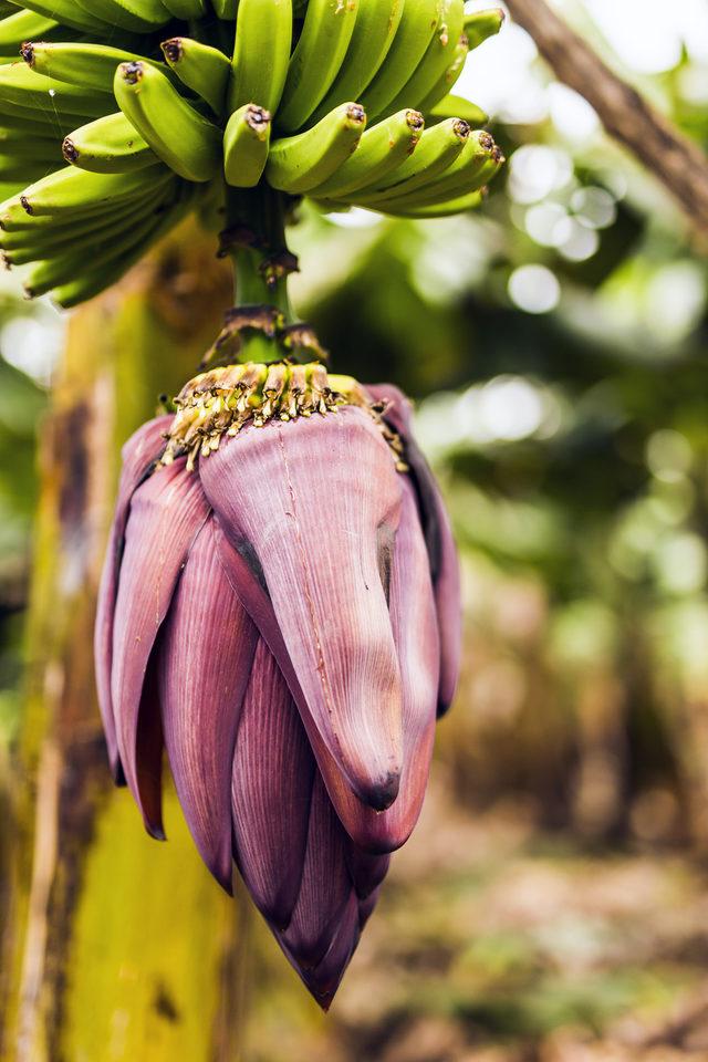 Muz çiçeğinin faydaları nelerdir Yoğurtla beraber muz çiçeği yerseniz 8
