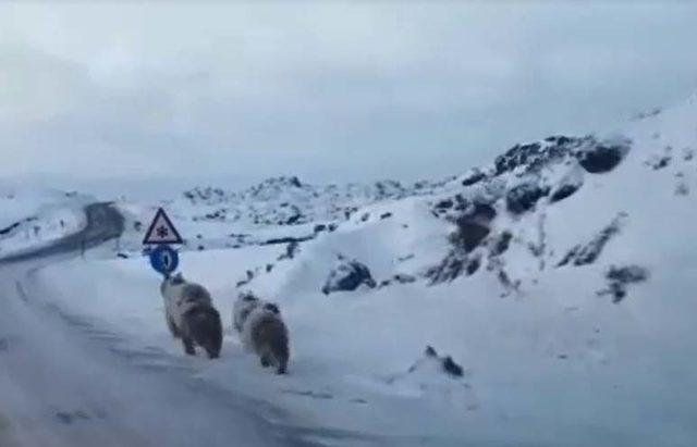 Yola inen ayıları görüntüledi
