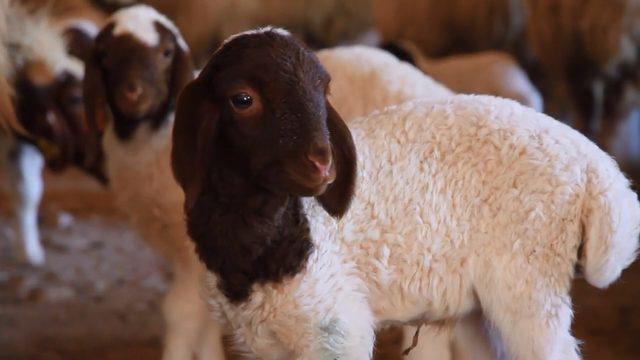 Şanlıurfa'da koyun ve kuzular buluştu