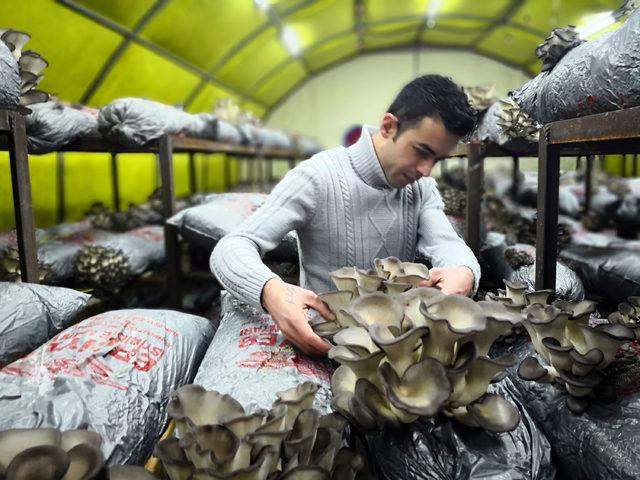Genç girişimci, ayda 3 ton istiridye mantarı üretiyor