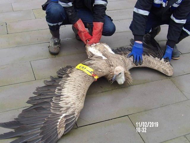 (Özel) Kahramanmaraş'ta nesli tükenmekte olan kızıl akbaba bulundu