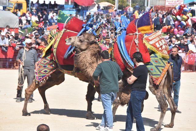 Bayraklı'da deve güreşi tartışması