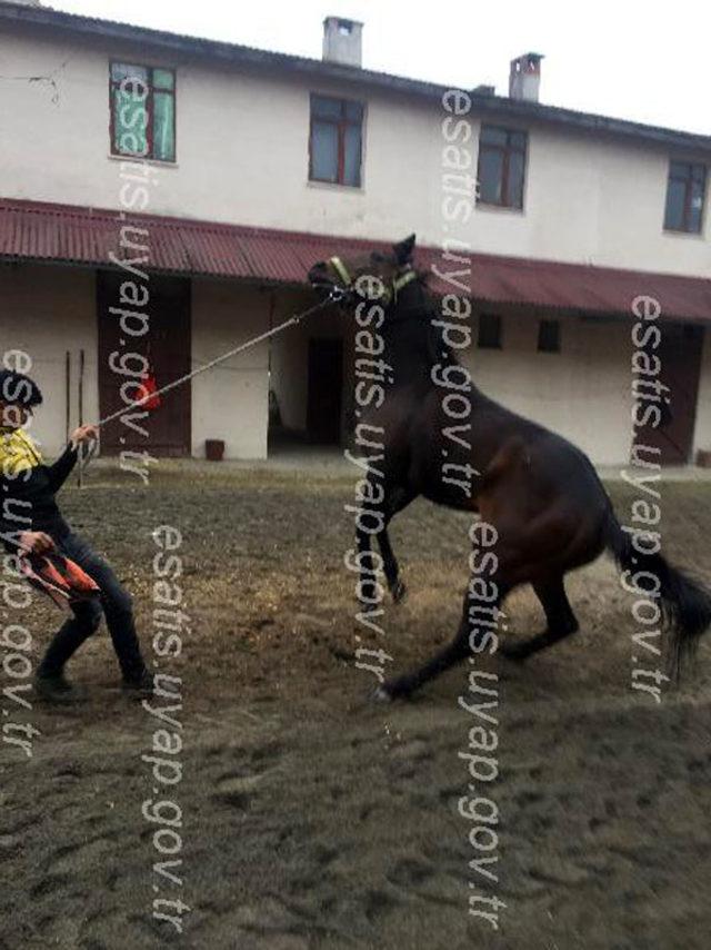 Bursa'da 12 birinciliği bulunan İngiliz yarış atı, icralık oldu