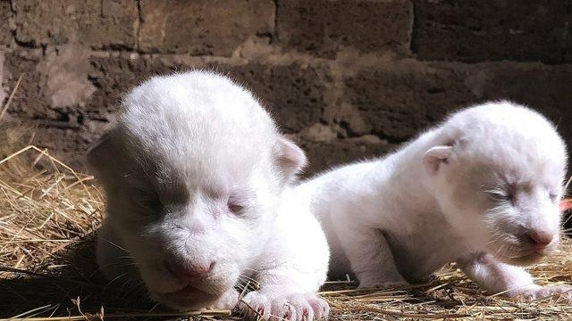 Kırım'da, nadir görülen 2 beyaz aslan doğdu