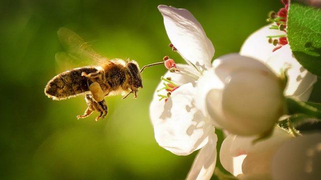 Arı nüfusundaki azalma, alarm zillerinin çalmasına neden oldu.
