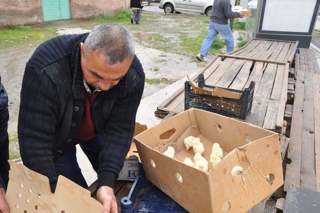 MHPli Başkan 5 bin civciv dağıttı