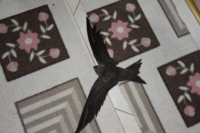 Komiser yardımcısı, evine giren yaralı ebabil kuşuna sahip çıktı
