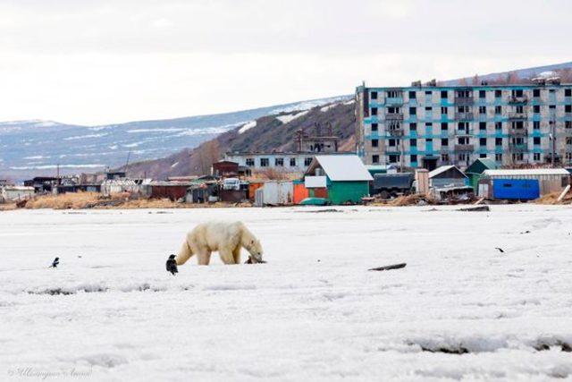 0_PAY-Polar-bear-visits-Kamchatka-1-The-Siberian-Times