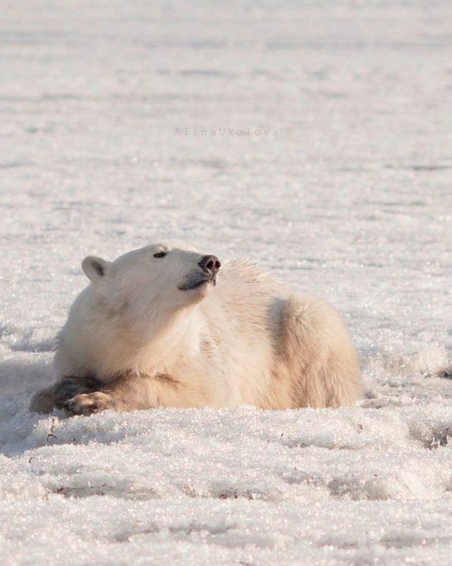 0_PAY-Polar-bear-visits-Kamchatka-11-The-Siberian-Times