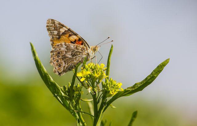 Dicle Vadisi kelebeklerle renklendi