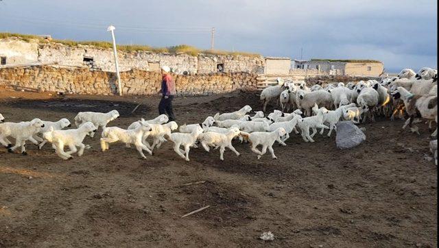 500 kuzunun anneleri ile buluşması hayranlık uyandırdı