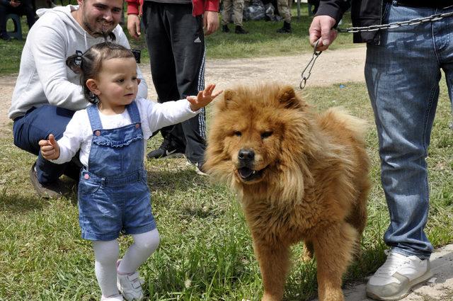 Tokat'ta düzenlenen festivalde çoban köpekleri yarıştırıldı