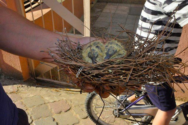 İtfaiye, yuvadan düşen yavru güvercinleri yerine koydu