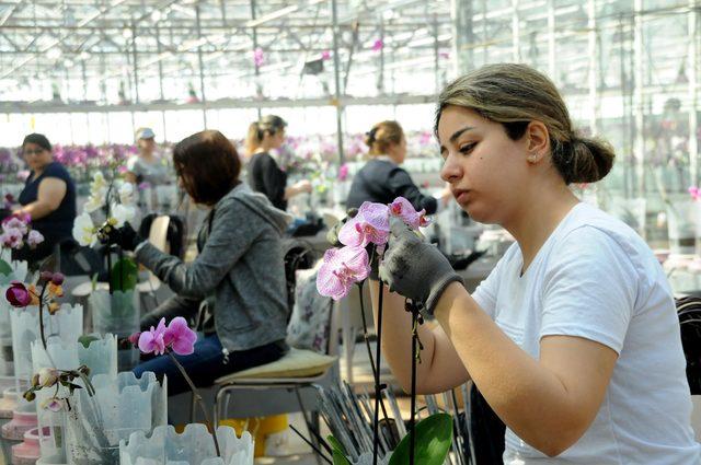 Yalova'da yetiştirilen orkideler, Anneler Günü için yola çıktı