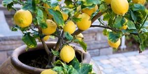 4 Adımda Limon Ağacı Nasıl Yetiştirilir?
