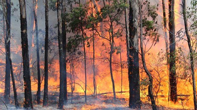 Okaliptus ağaçlarının yangınları sevdiğiniz biliyor muydunuz?