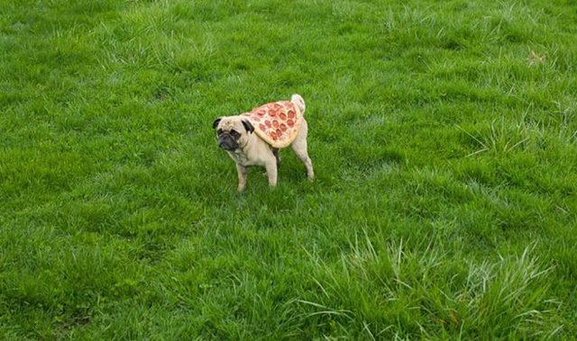 03-pizza-dog-e1512054574721-731x411-33524