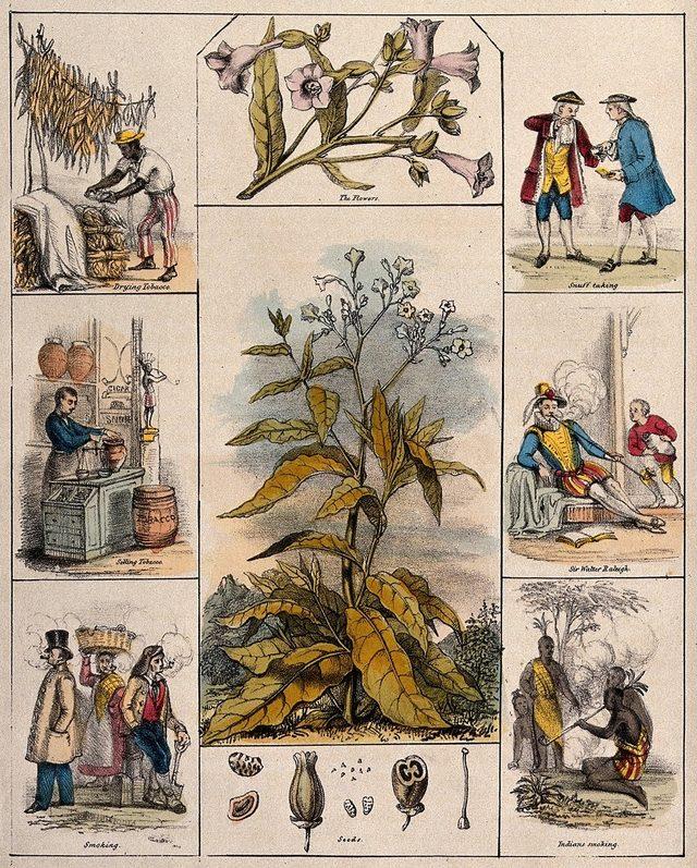 Avrupalı doktor ve eczacılar, tütünün tıpta nasıl kullanılabileceğini araştırdı