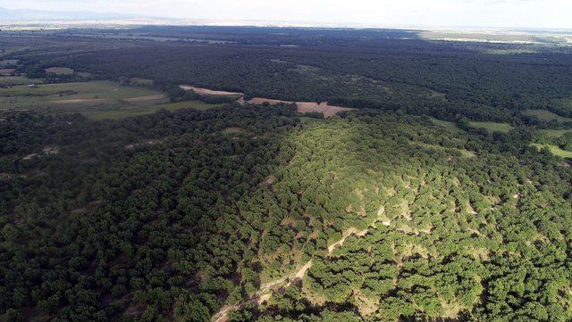 Bu ormandan yıllardır ağaç kesilmiyor