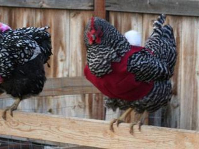 Tavuklar Üşümesin Diye Kazak Ören Pamuk Kalpli Teyzelerin Göz Dolduran Hikayesi