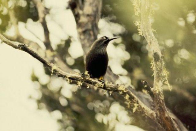 Kauai-Oo-aa-bird-600x399 (1)