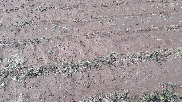 Sağanak yağış Koçarlı Ovası'na zarar verdi