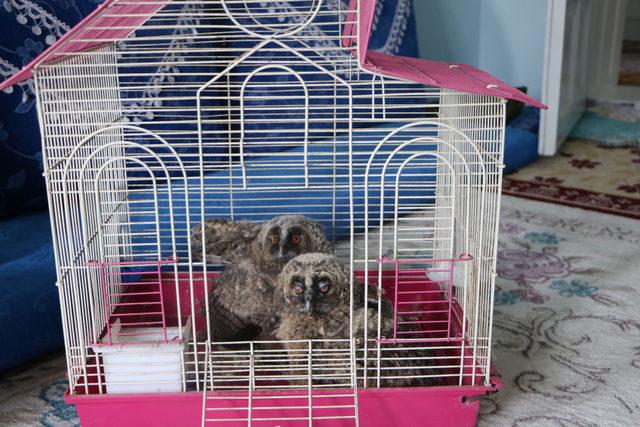 Yuvasından düşen yavru baykuşlara sahip çıktı
