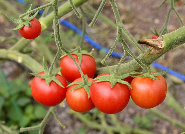 Fiyatı düşen domatese 'taban fiyat' teklifi