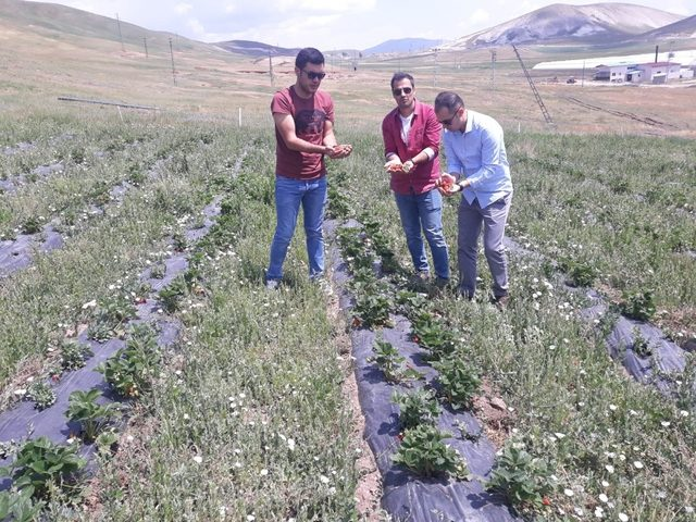 Çaldıran'da yerli çilek üretimi ikinci yılında