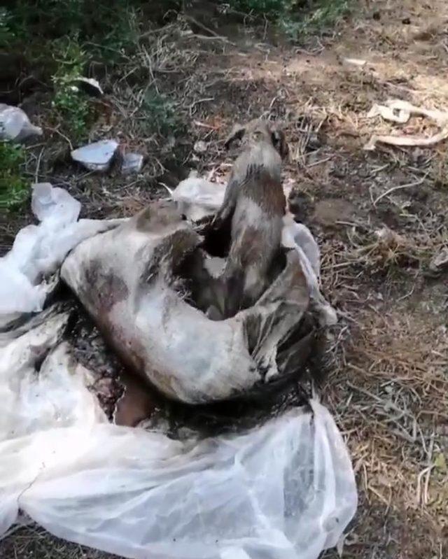 Ormanlıkta çuval içinde biri ölü, diğeri ölmek üzere olan iki köpek bulundu