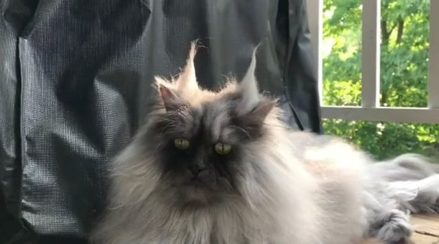 Meet-Juno-The-Cat-With-Better-Hair-Than-All-of-Us-5d17f06d29463-jpeg__700