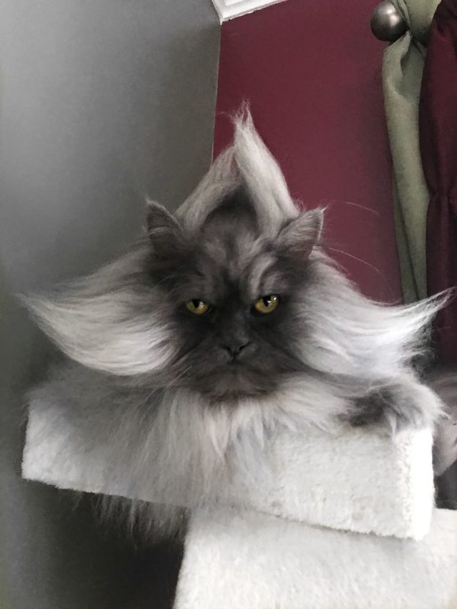 Meet-Juno-The-Cat-With-Better-Hair-Than-All-of-Us-5d17f09670bfb__700