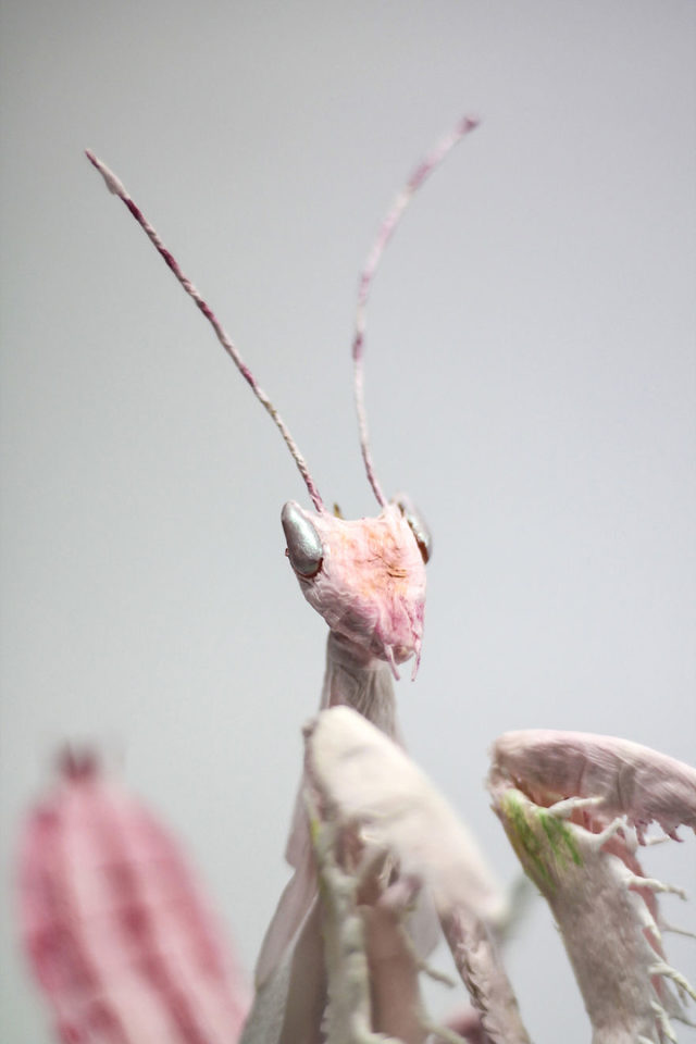 Crepe_Paper_Insects_PaperArt_Praying_orchid_mantis_by_faltmanufaktur13-5d250fa8b1b94__880