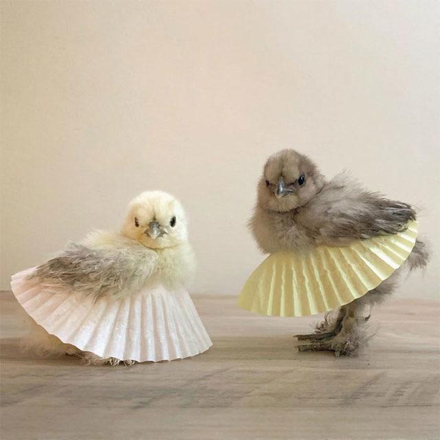 adorable-chickens-tutus-1-5d26e37d60e0a__700