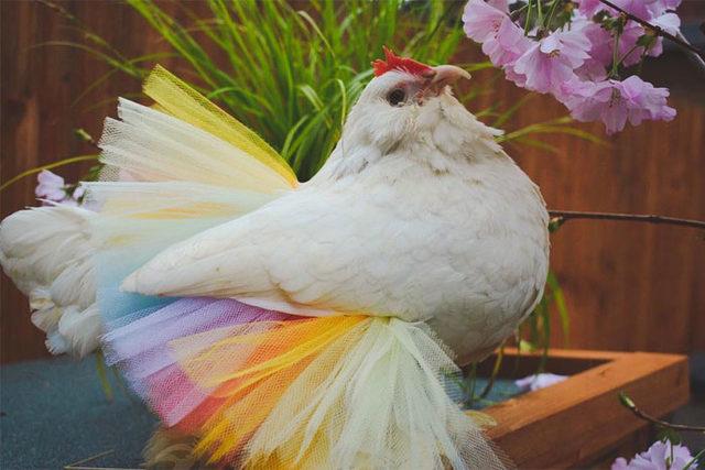 adorable-chickens-tutus-5d26e3a038cae__700