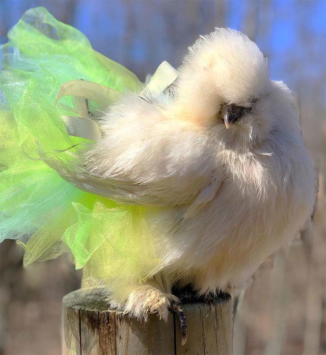 adorable-chickens-tutus-5d26e3b02ccea__700