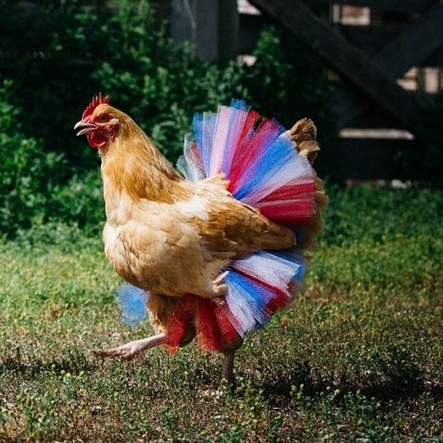 adorable-chickens-tutus-5d26e3cd123f8__700