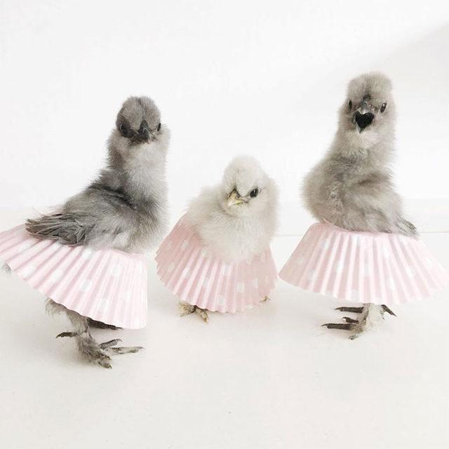 adorable-chickens-tutus-5d26e3d32c1cb__700