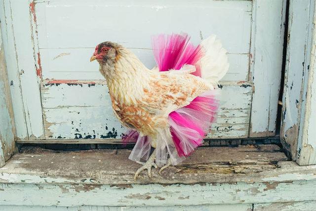 adorable-chickens-tutus-5d26e3f1da946__700