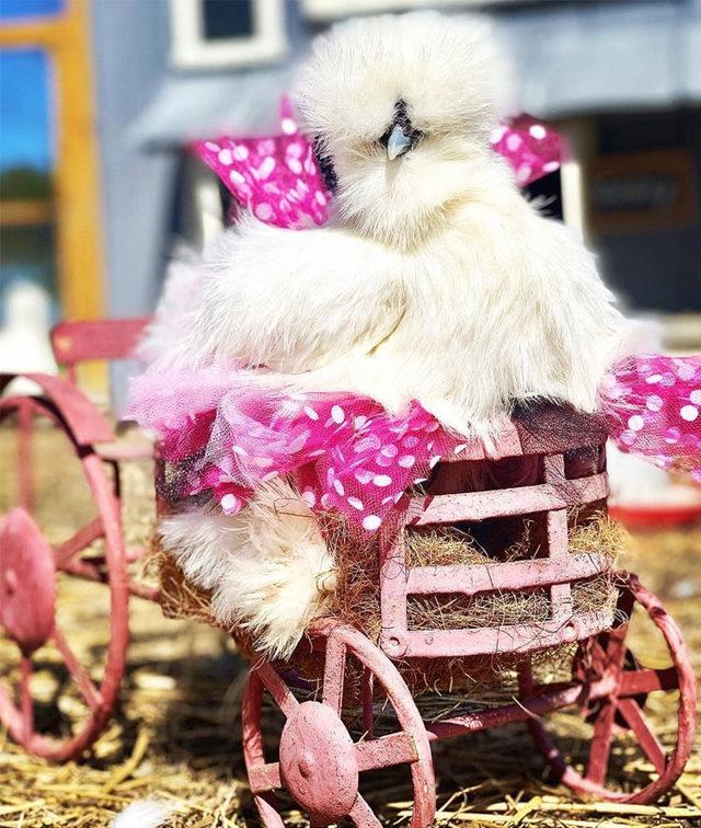 adorable-chickens-tutus-5d26e3fb6e22f__700