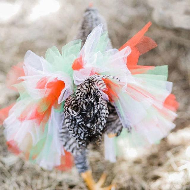 adorable-chickens-tutus-5d26e41ca9786__700