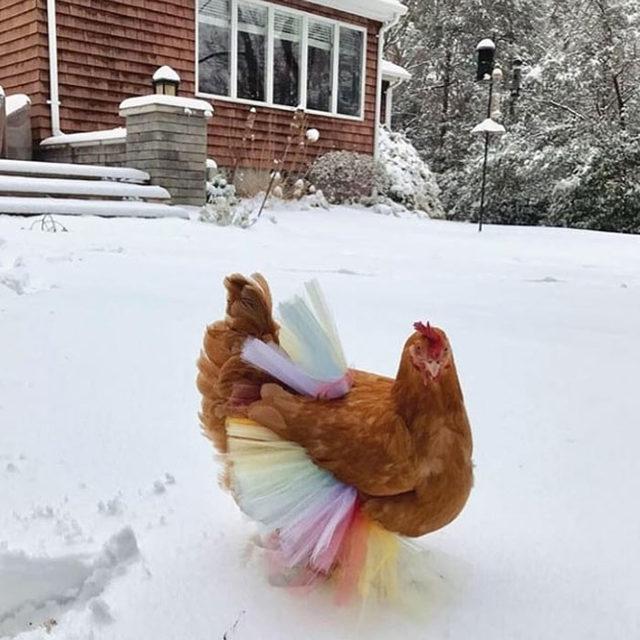 adorable-chickens-tutus-5d26e42a2e0ea__700
