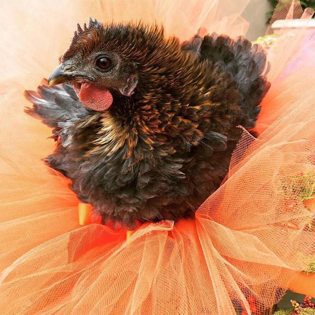 adorable-chickens-tutus-5d26e390a6cd6__700