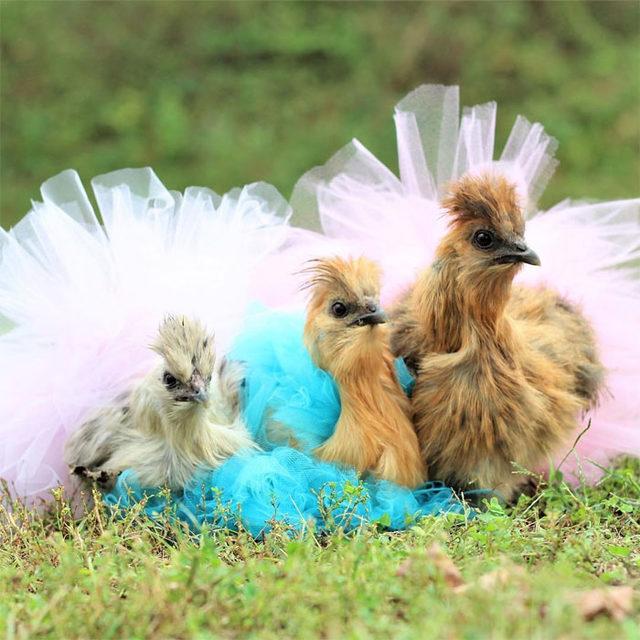 adorable-chickens-tutus-5d26e4304af64__700