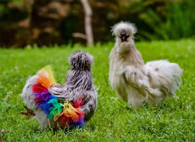 adorable-chickens-tutus-5d26e40541a23__700