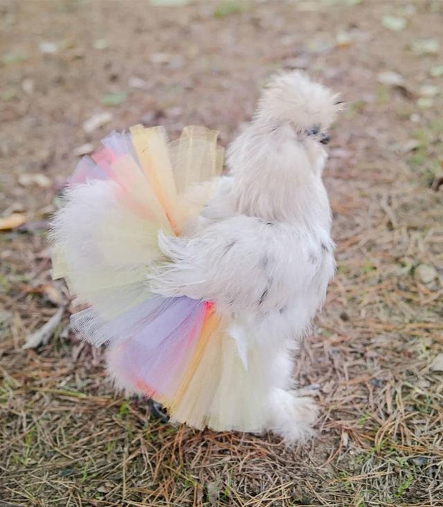 adorable-chickens-tutus-5d26e449003ee__700