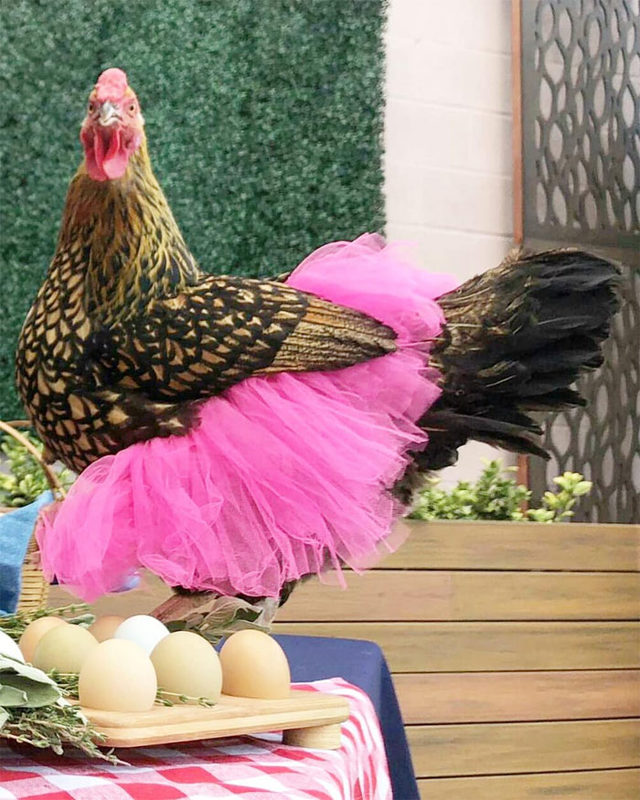 adorable-chickens-tutus-5d26e43683380__700
